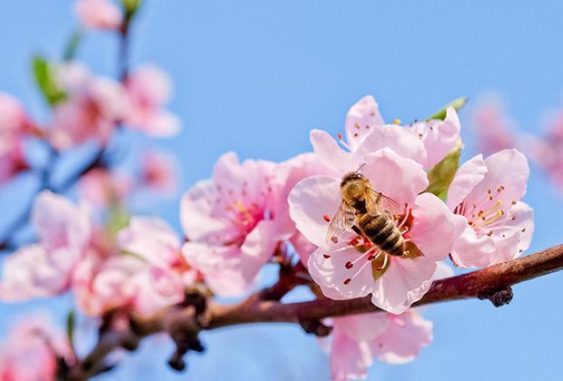 Bijen in de tuin en bijvriendelijke planten