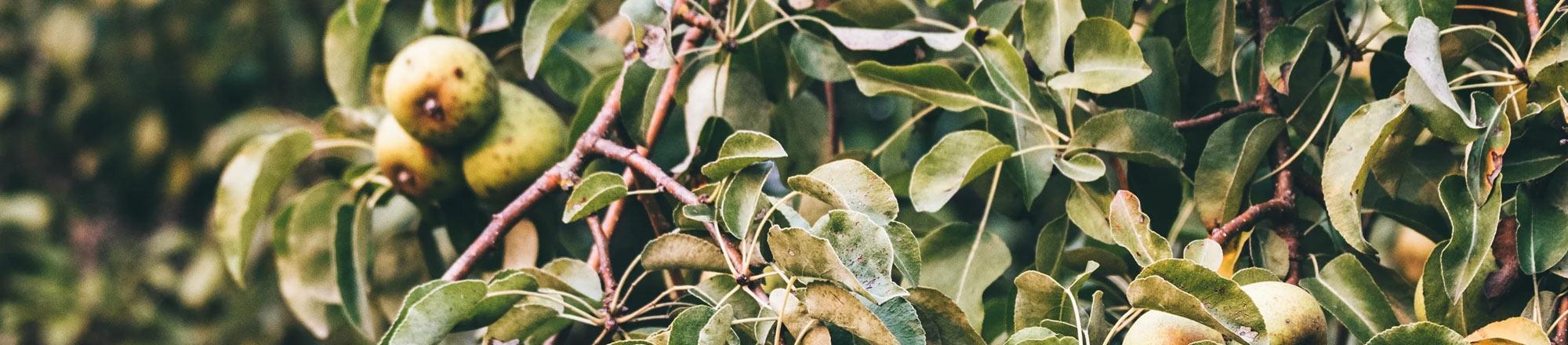Perenboom snoeien en verzorgen