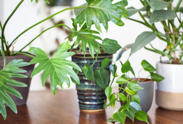 De Philodendron familie