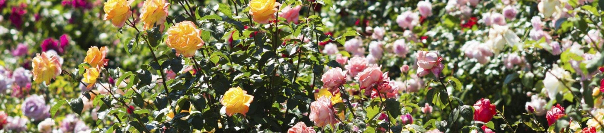 Top 10 mooiste rozen
