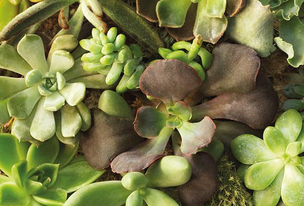 Een vetplant stekken? Ideeën met vetplant stekjes