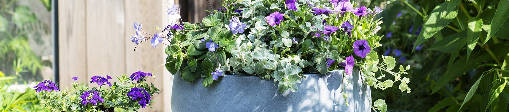 Top 5 mooiste bloeiende balkonplanten