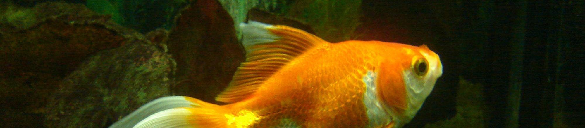 De 10 belangrijkste tips bij het aanschaffen van vissen