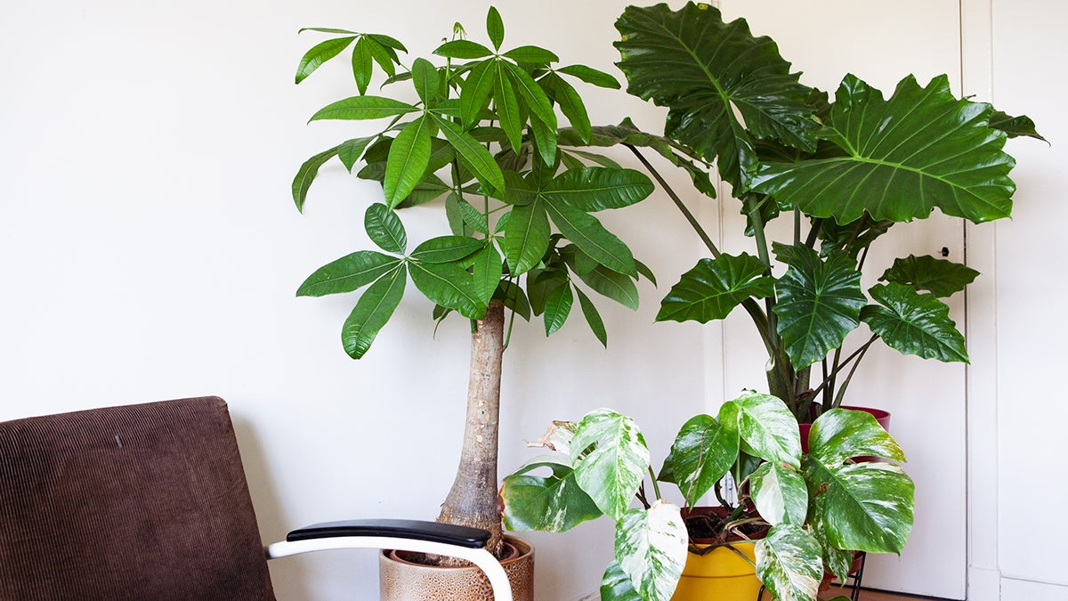 Alles over grote kamerplanten