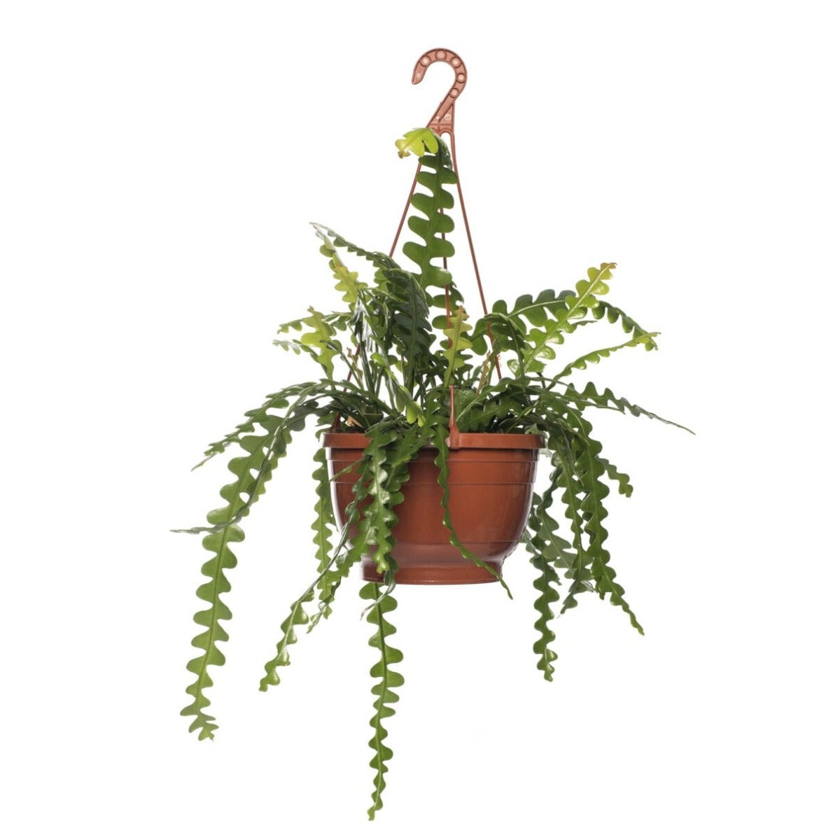 Zaagcactus (Epiphyllum anguliger)