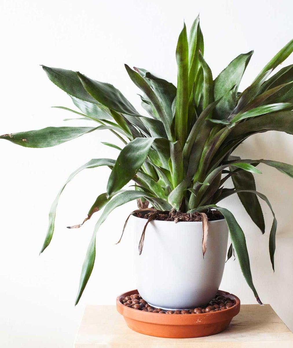 Kamerplant op plantenschotel met hydrokorrels