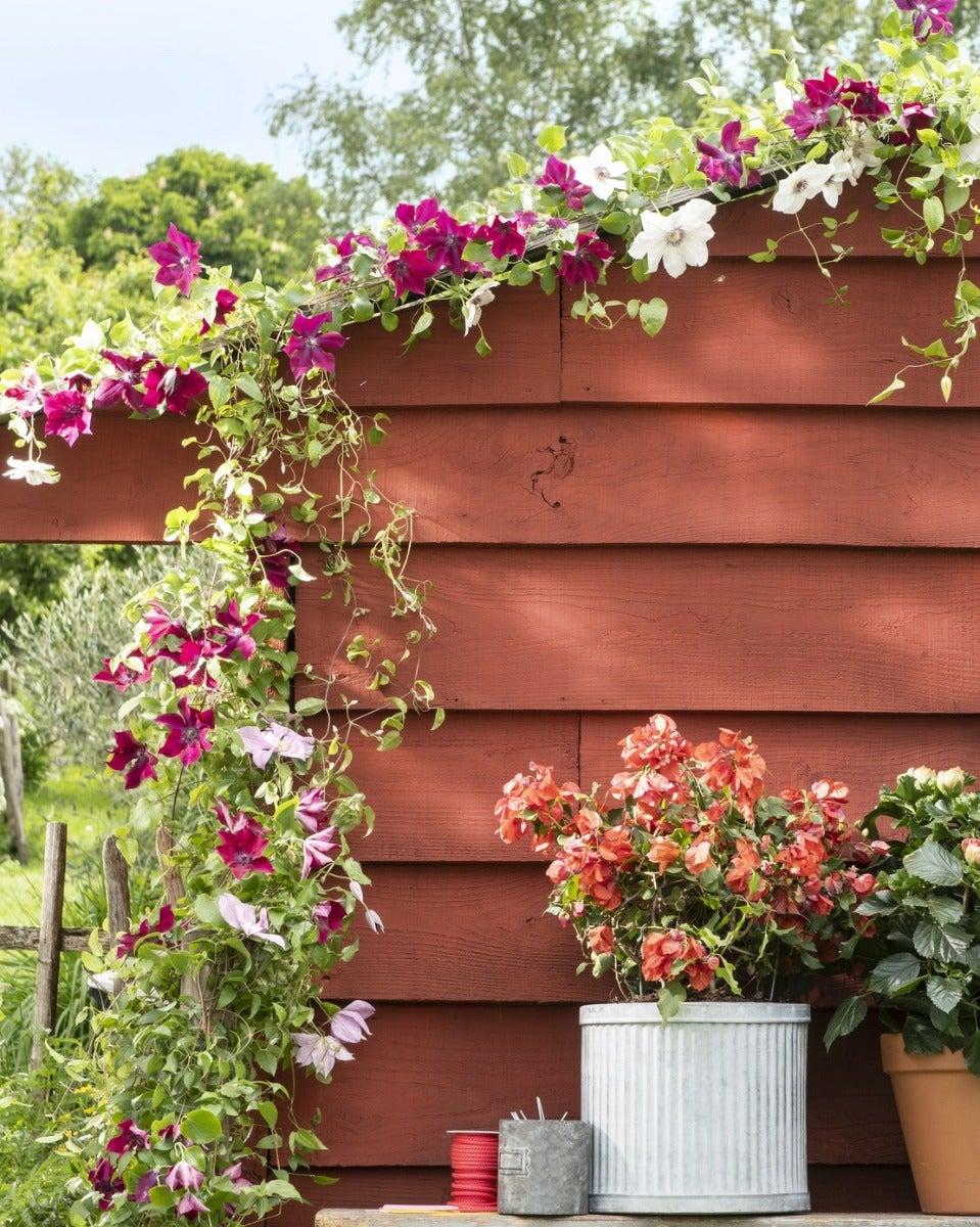 Clematis in de tuin