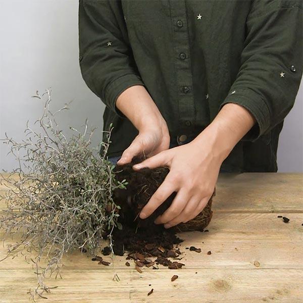 DIY Kerst kokedama, stap 1: De kluit van de plant voorbereiden