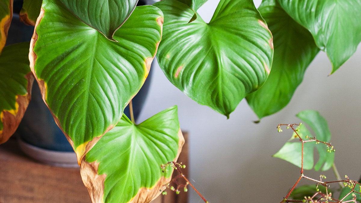 Bruine randen aan je kamerplant