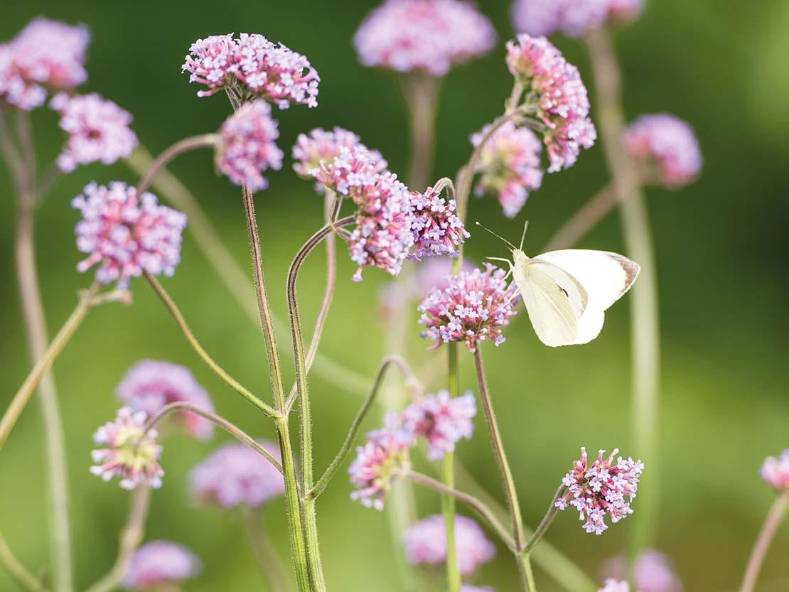 Vlinder op IJzerhard