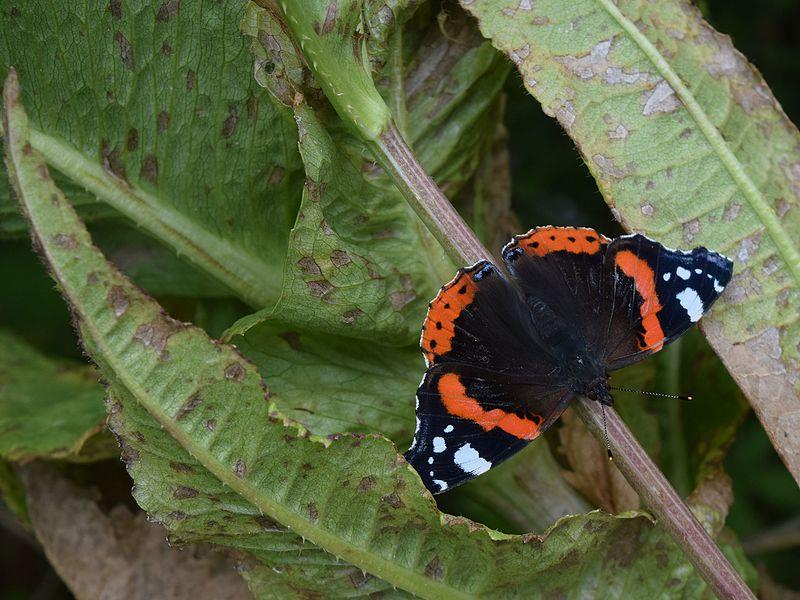 Atalanta vlinder