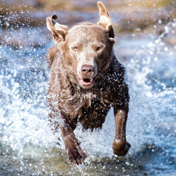 Hond rennend in het water