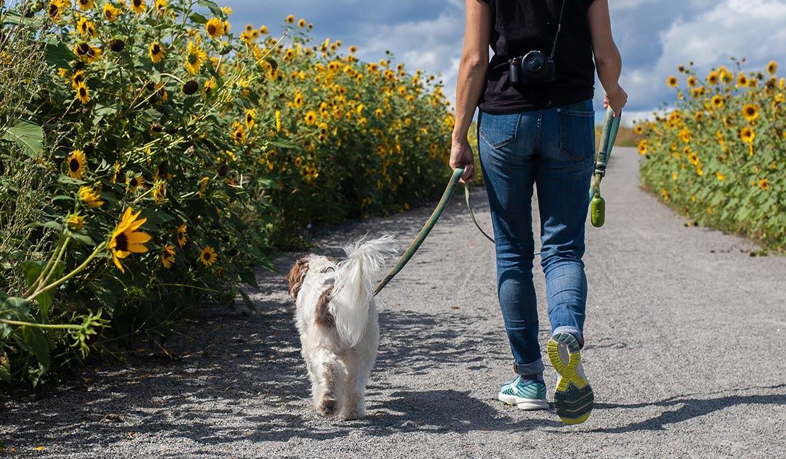 Hond uitlaten tussen zonnebloemen