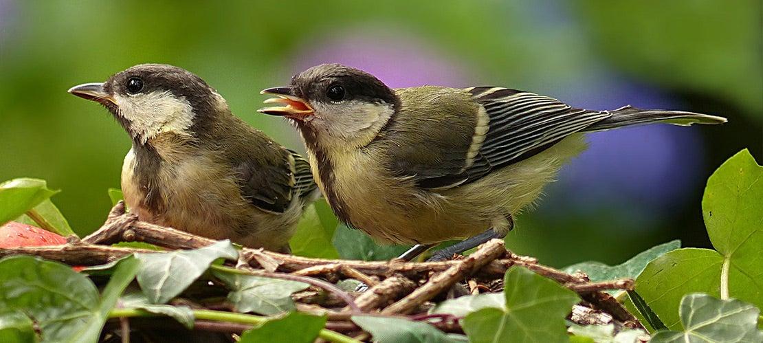 Jonge vogels