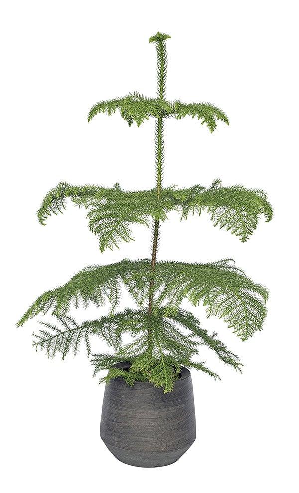 Kamerden (Araucaria heterophylla)