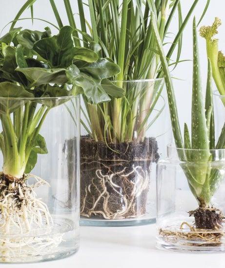 Kamerplant in glas met zichtbare wortels