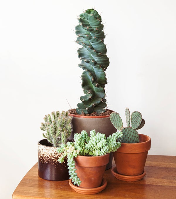 Cactussen en vetplantv