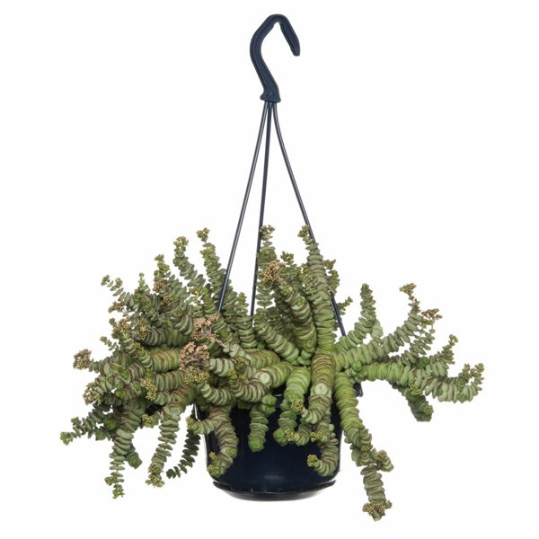 Crassula (Crassula marnieriana 'Hottentot')