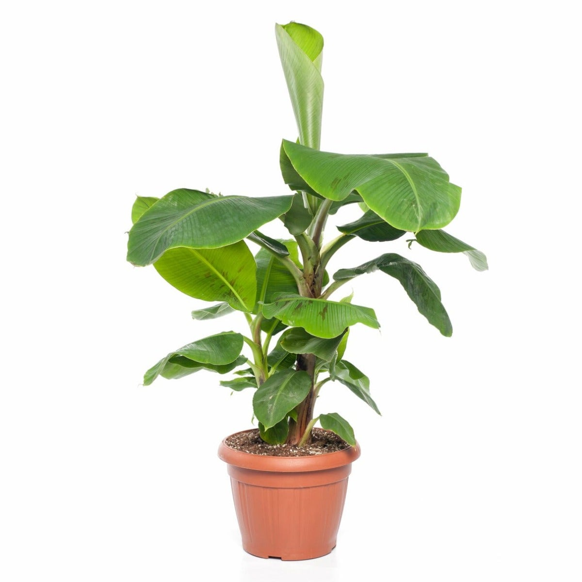 Bananenplant (Musa 'Dwarf Cavendish')