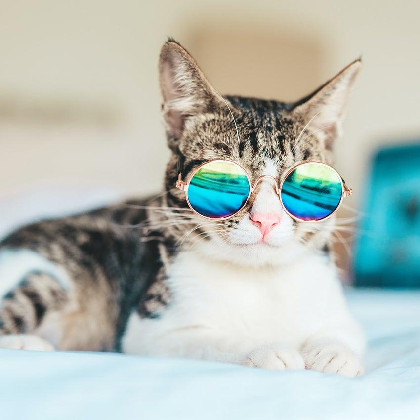 Kat met zonnebril
