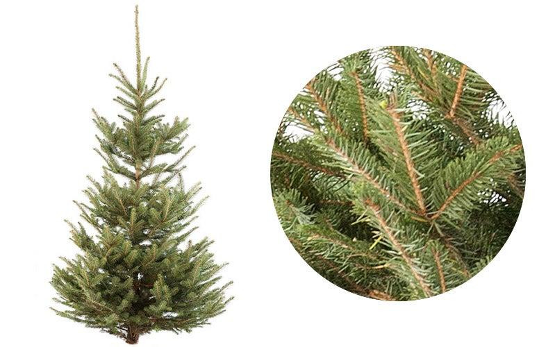 Blauwspar kerstboom