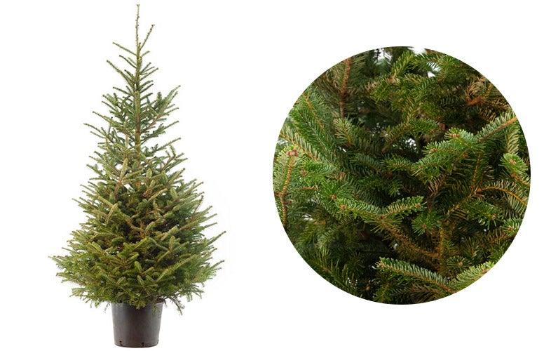 Japanse zilverspar kerstboom