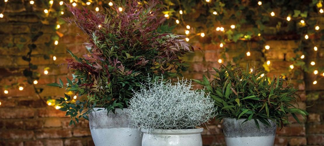 Kerstversiering voor buiten, kerstgroen in potten