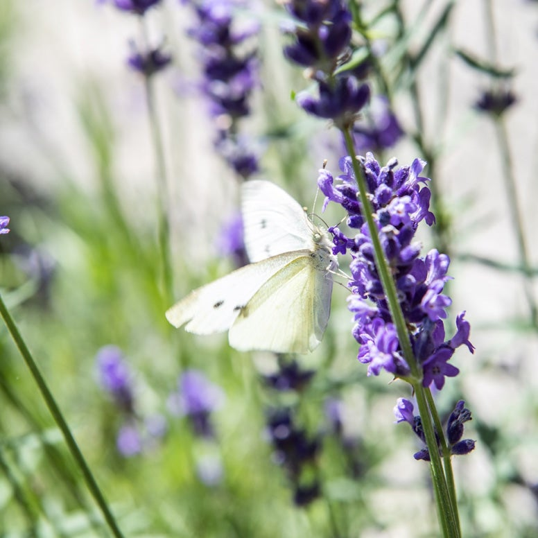 Lavendel: Lavandula angustifolia