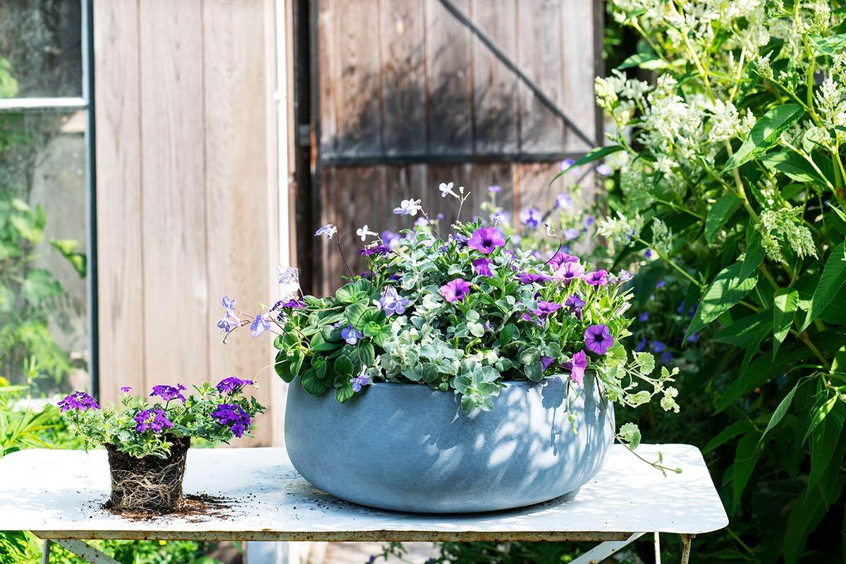 Paarse balkonplanten in pot
