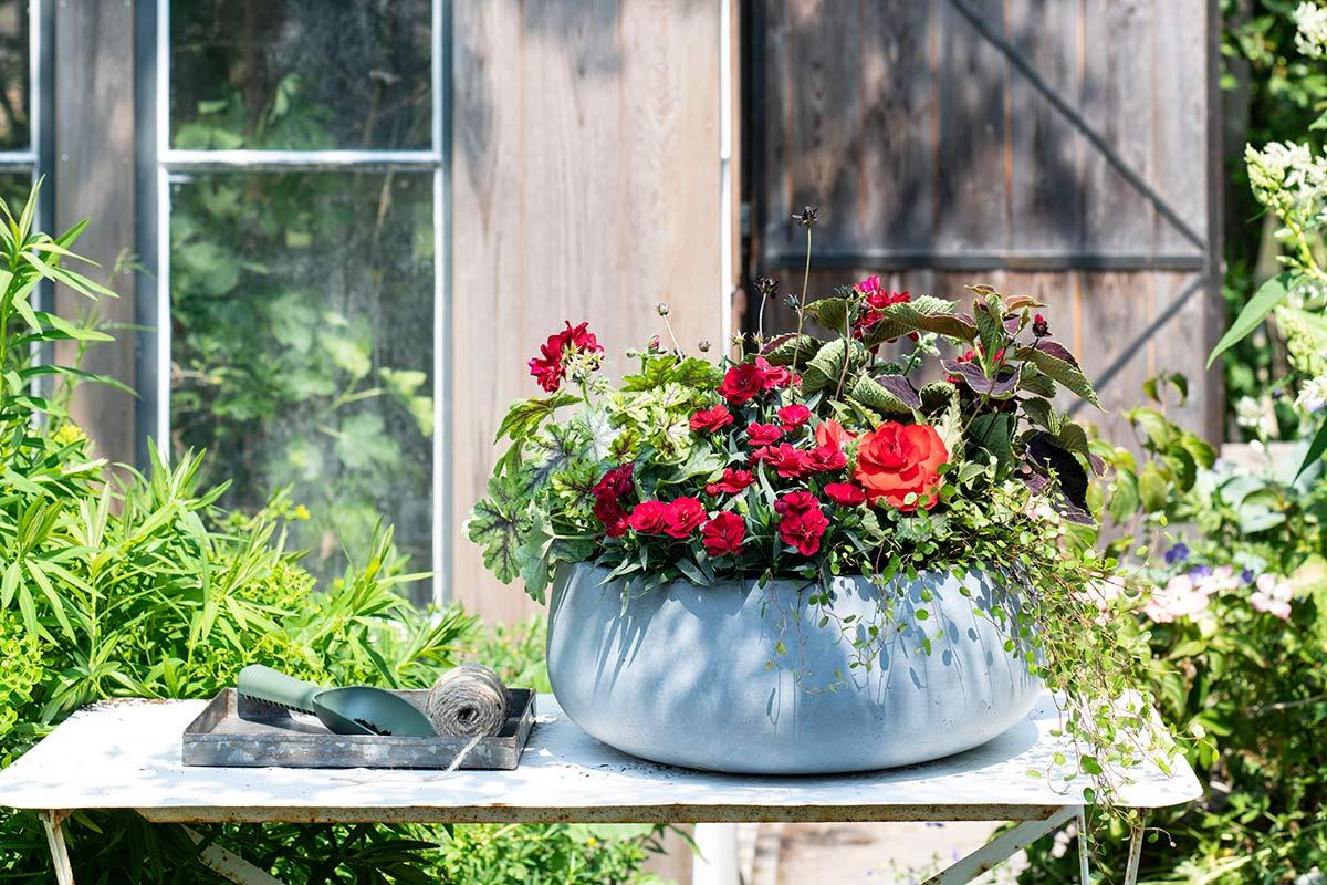 Rode balkonplanten in pot