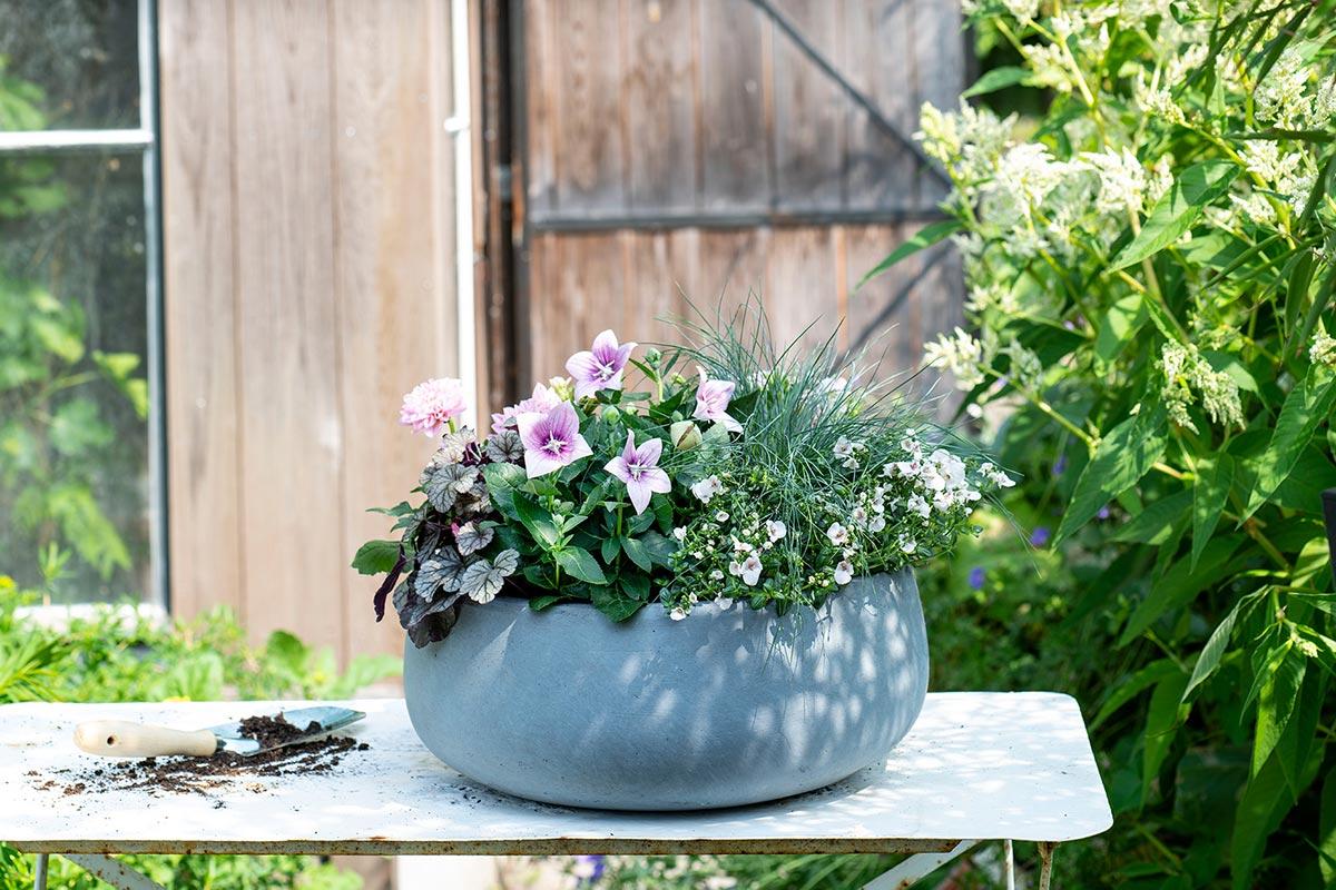 Roze balkonplanten in pot