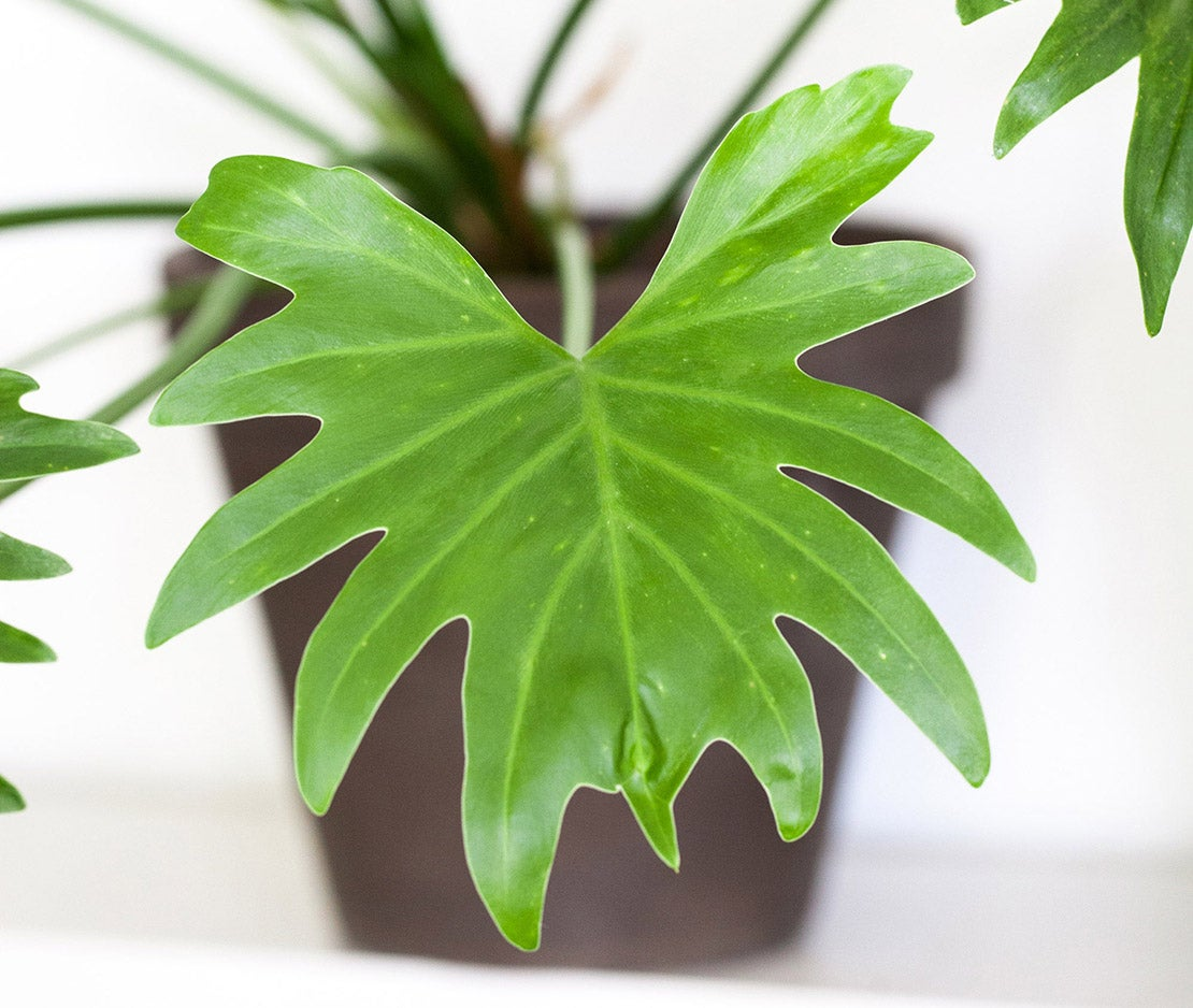 Philodendron blad