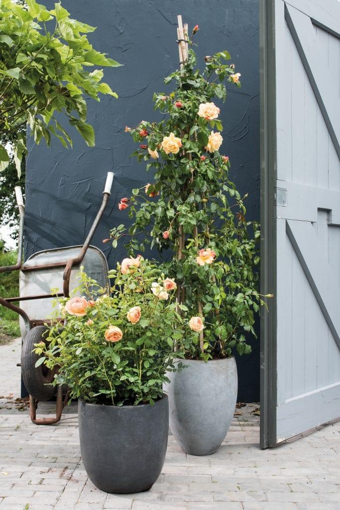 Roos in pot
