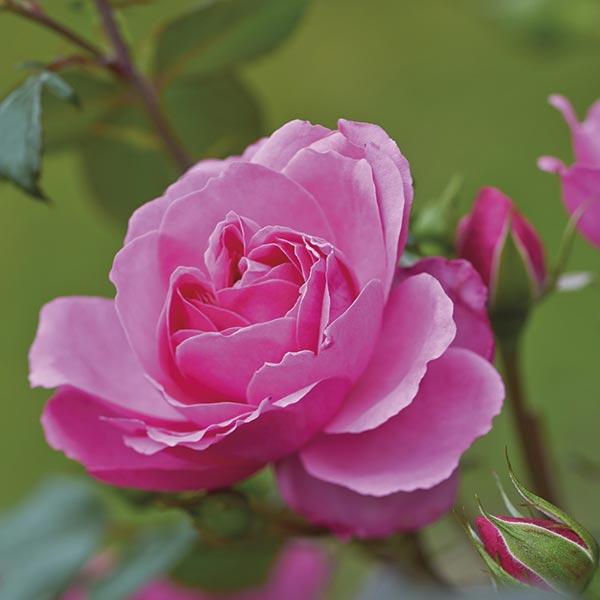 Grootbloemige roos (Rosa 'Berleburg Castle')