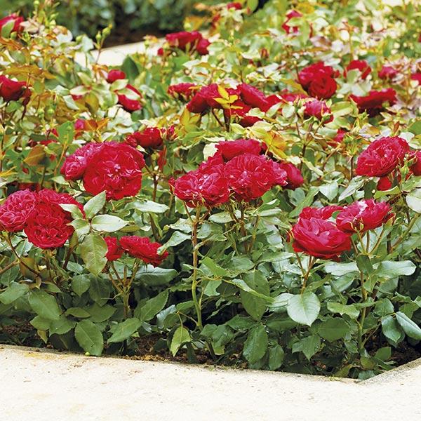 Bodembedekkende roos (Rosa 'Flowercarpets')
