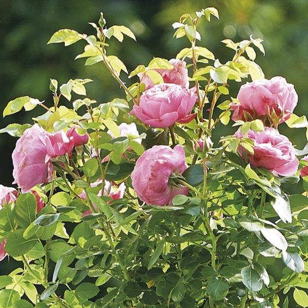 Trosroos (Rosa 'Leonardo da Vinci')