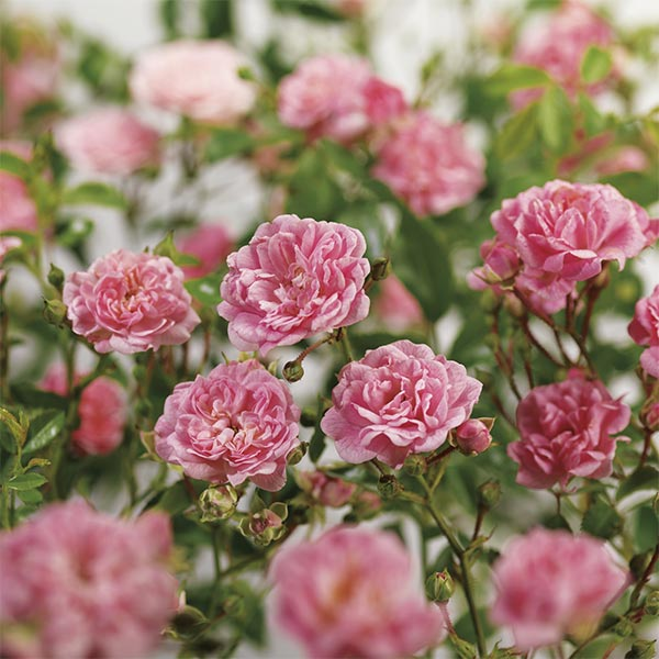 Trosroos (Rosa 'The Fairy')
