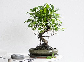Bonsai planten