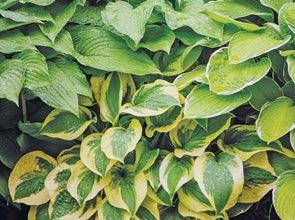 Schaduw planten