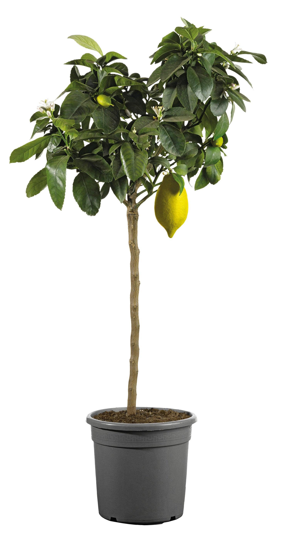 Citroenboom (Citrus sinensis) D 20 H 80 cm