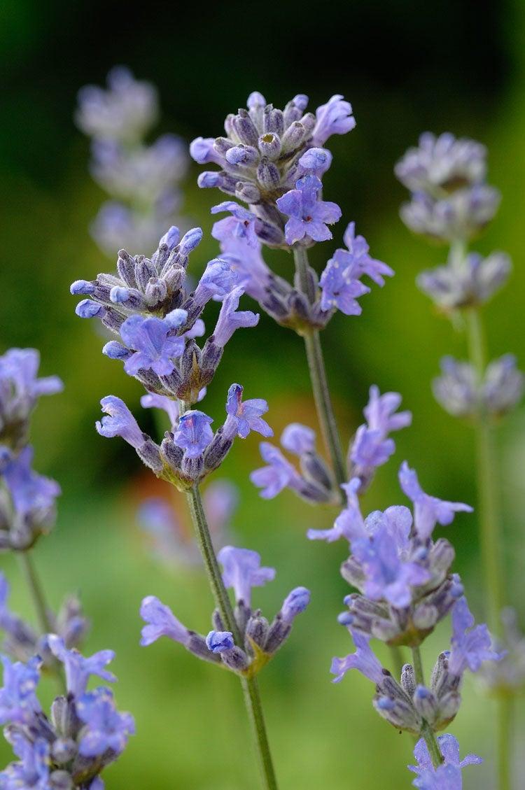 Lavendel (Lavandula Angustifolia Dwarf Blue)