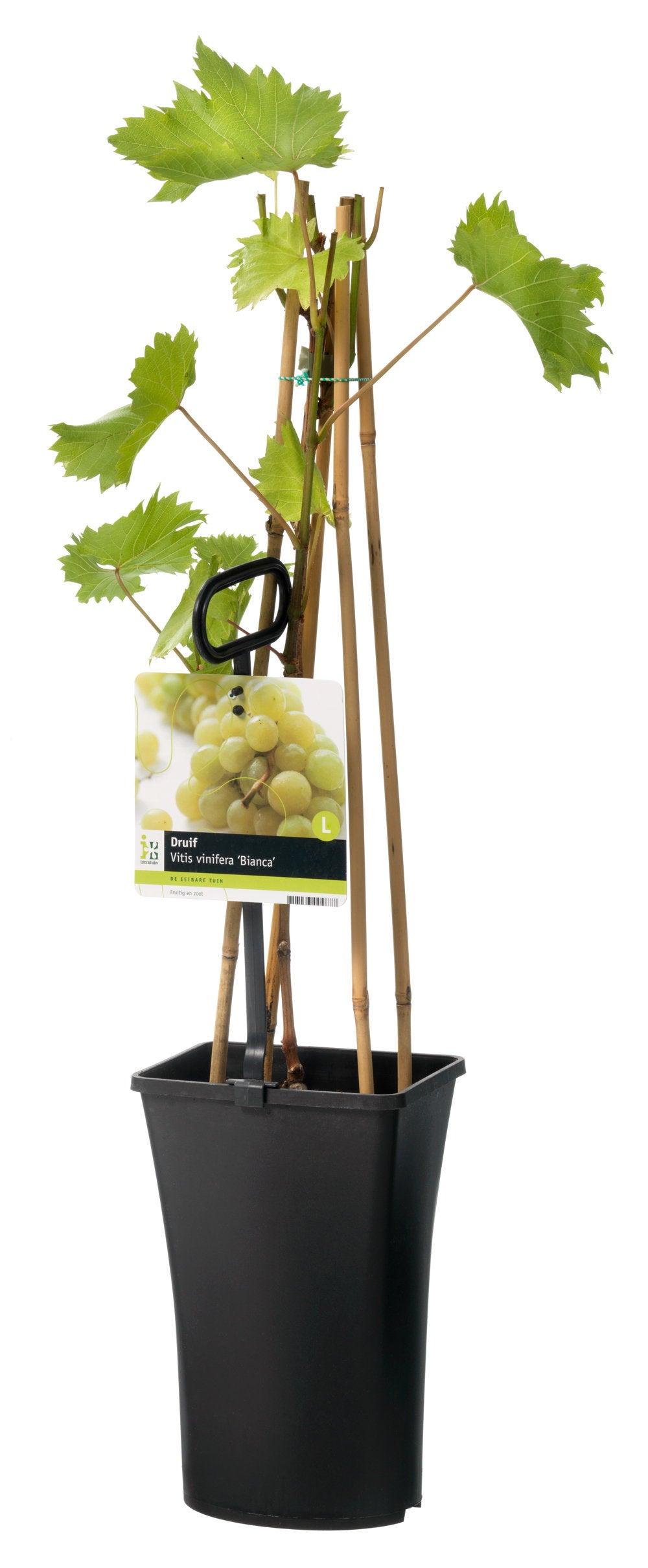 Witte druif (Vitis vinifera 'Bianca')