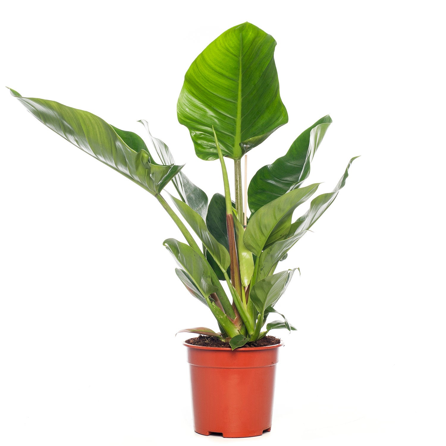 Philodendron (Philodendron 'Imperial Green') D 19 H 60 cm