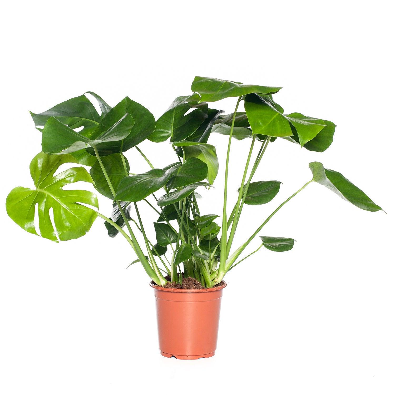 Gatenplant (Monstera deliciosa) D 21 H 80 cm