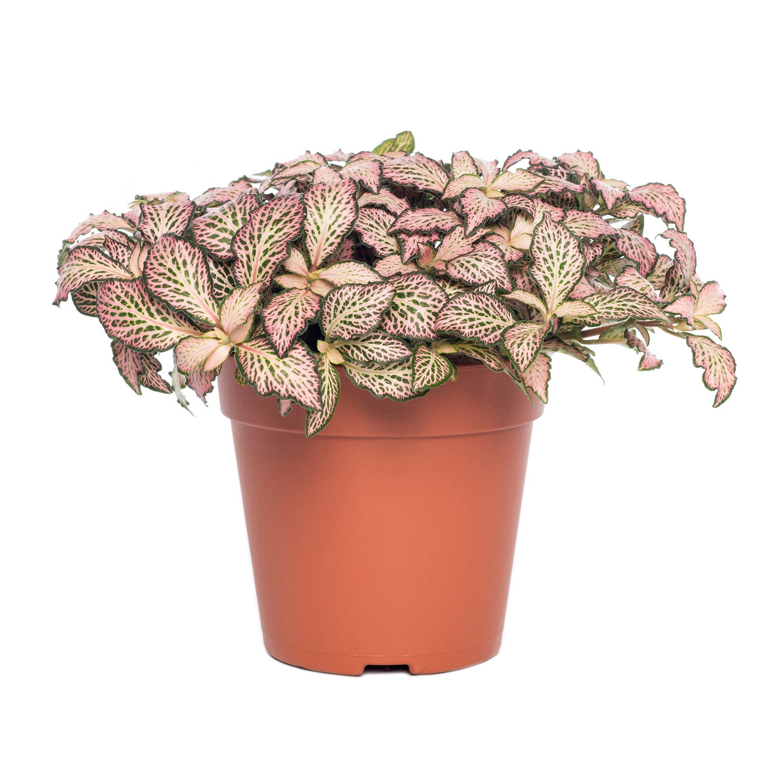 Mozaïekplant (Fittonia mosaic 'Pink Forest Flame') D 12 H 15 cm