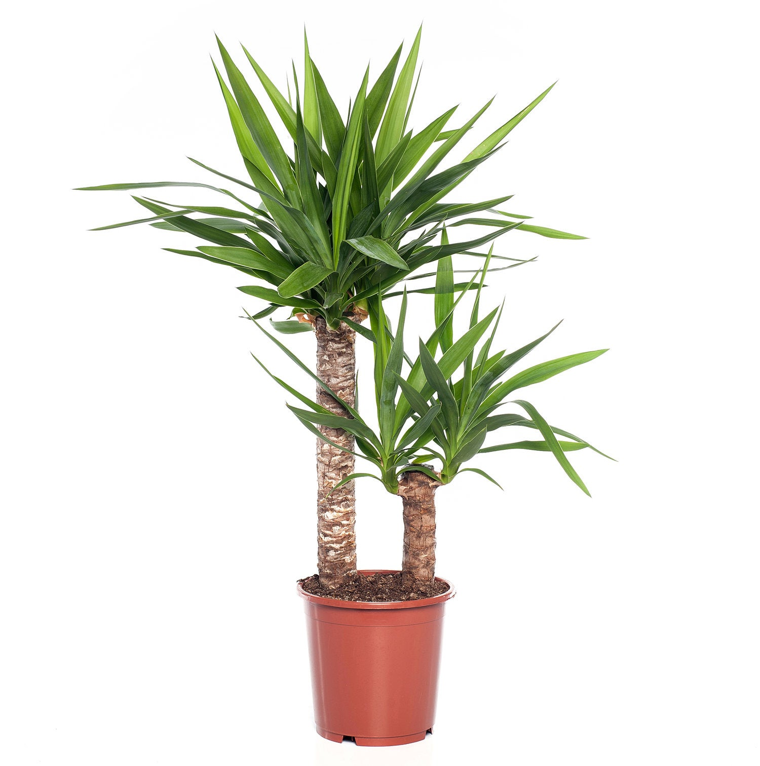 Yucca (Yucca elephantipes) D 21 H 90 cm