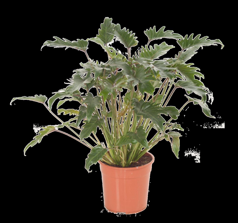 Philodendron (Philodendron 'Xanadu') D 31 H 80 cm