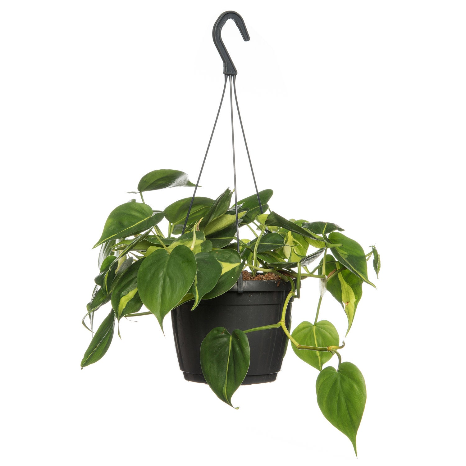 Philodendron (Philodendron scandens 'Brasil') D 18 H 30 cm