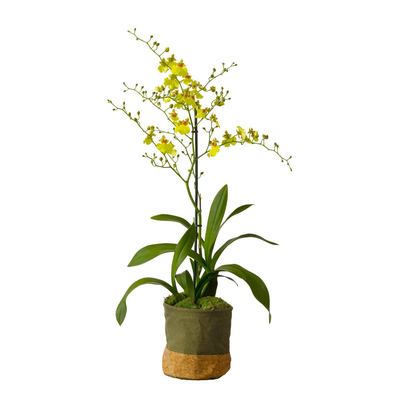 Tijgerorchidee (Oncidium 'Munsterland Stern') D 12 H 60 cm
