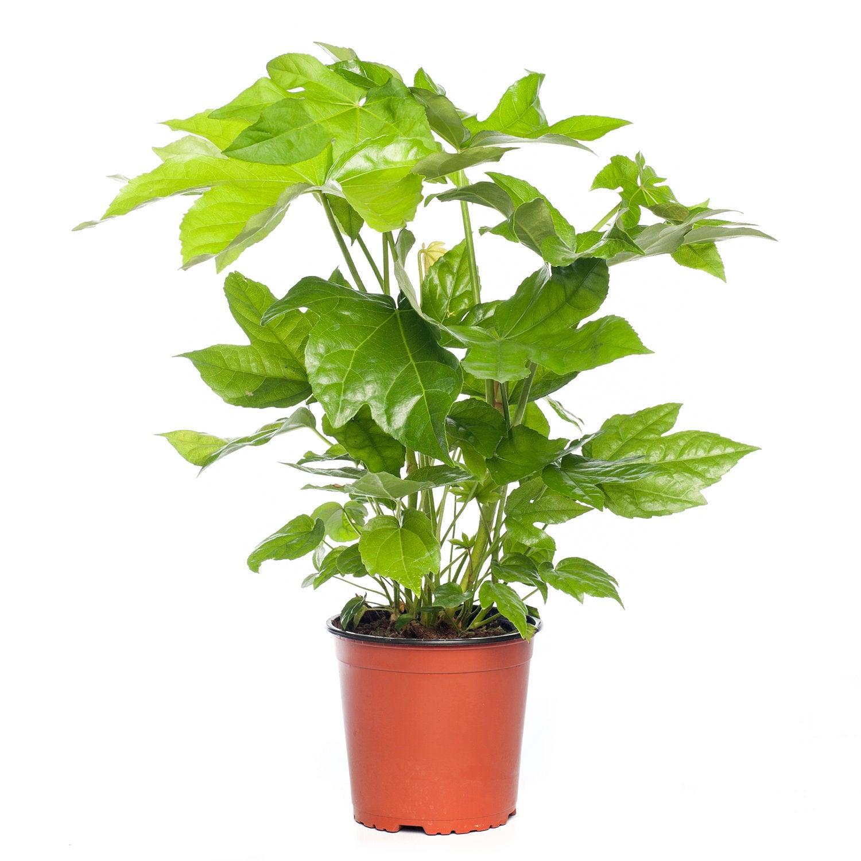 Vingerplant (Fatsia japonica) D 17 H 50 cm
